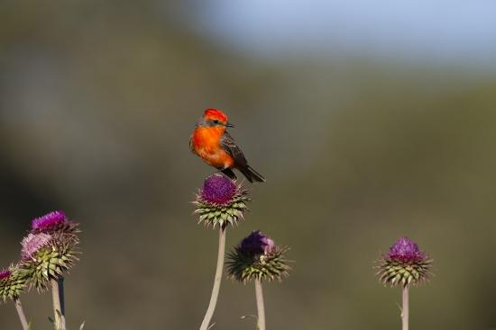 Vermilion Flycatcher (Pyrocephalus Rubinus) Male Perched-Larry Ditto-Photographic Print