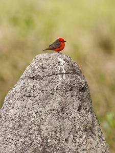 Vermilion Flycatcher (Pyrocephalus Rubinus) on a Rock