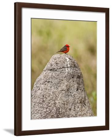 Vermilion Flycatcher (Pyrocephalus Rubinus) on a Rock--Framed Photographic Print