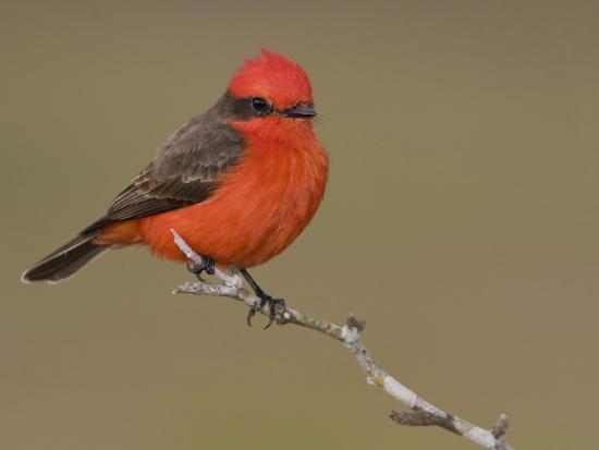 Vermillion Flycatcher (Pyrocephalus Rubinus) Perched on a Branch, Texas, USA-Glenn Bartley-Photographic Print