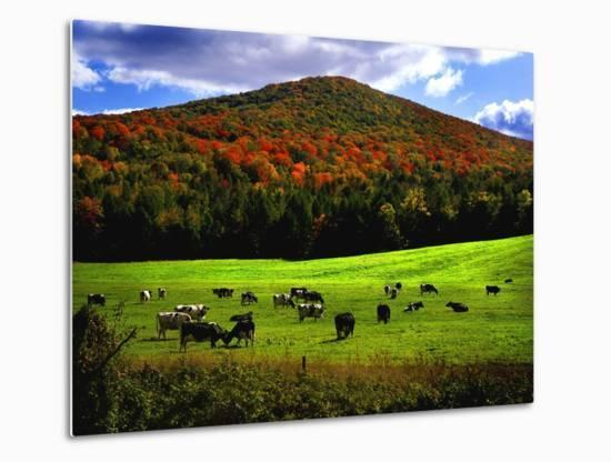 Vermont Cows-Jody Miller-Metal Print