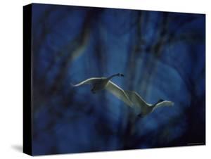 Trumpeter Swans in Flight by Vernon Merritt III