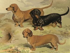 Dachshunds by Vero Shaw