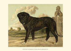 Mastiff by Vero Shaw