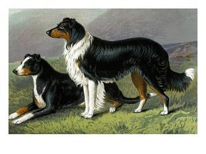 Sheep Dogs by Vero Shaw