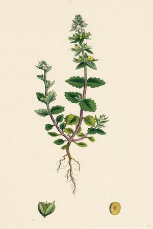 Veronica Arvensis Wall Speedwell--Giclee Print