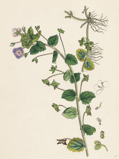 Veronica Buxbaumii Buxbaum's Speedwell--Giclee Print