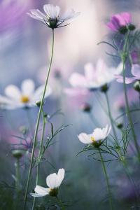 Cosmos Flowers at a Summer Day by Veronika Seliverstova's photography