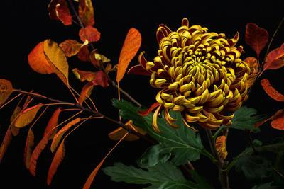 Close-Up of Autumn Dahlia Flower. Macro Photography of Nature.