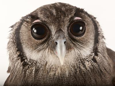 Verreaux's Eagle Owl, Bubo Lacteus, at Zoo Atlanta-Joel Sartore-Photographic Print