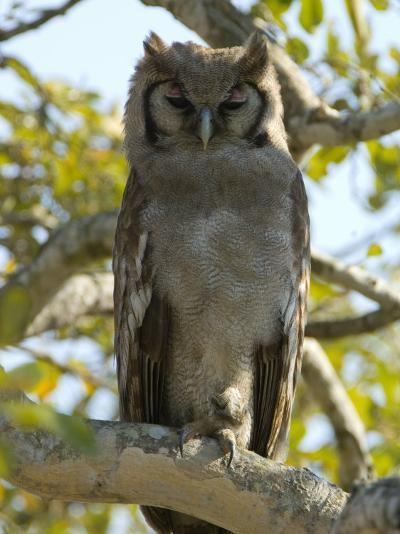 Verreaux's Eagle Owl, Bubo Lacteus, or Milky Eagle Owl, in a Tree-Paul Sutherland-Photographic Print