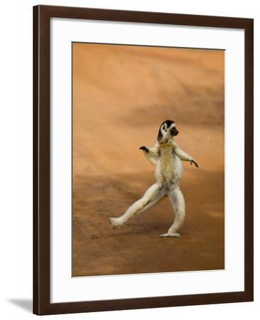 Verreaux's Sifaka 'Dancing', Berenty Private Reserve, South Madagascar-Inaki Relanzon-Framed Photographic Print