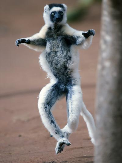 Verreaux's Sifaka Dancing in a Field, Berenty, Madagascar--Photographic Print