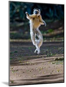 Verreaux's Sifaka (Propithecus Verreauxi) Lemur Dancing, Madagascar