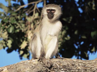 Vervet Monkey (Cercopithecus Aethiops), Kruger National Park, South Africa, Africa-Steve & Ann Toon-Photographic Print