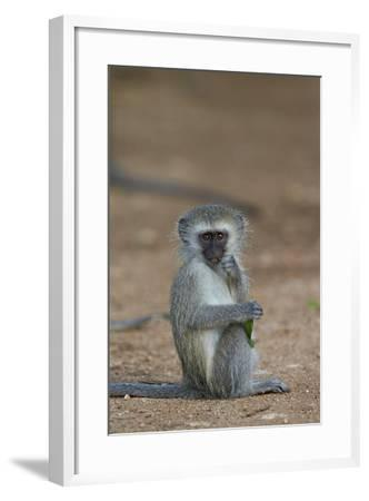 Vervet Monkey (Chlorocebus Aethiops), Juvenile, Kruger National Park, South Africa, Africa-James Hager-Framed Photographic Print