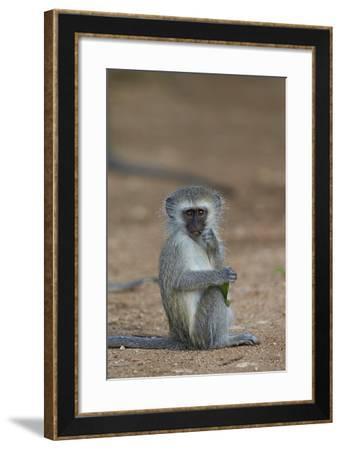 Vervet Monkey (Chlorocebus Aethiops), Juvenile, Kruger National Park, South Africa, Africa-James Hager-Framed Photographic Print