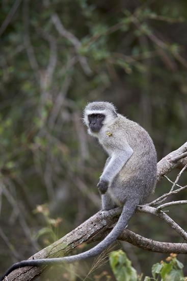 Vervet Monkey (Chlorocebus Aethiops), Kruger National Park, South Africa, Africa-James Hager-Photographic Print