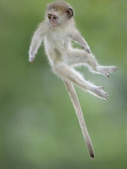 Vervet Monkey (Chlorocebus Pygerythrus) Baby Jumping Between Branches, Photographed Mid Air-Wim van den Heever-Photographic Print
