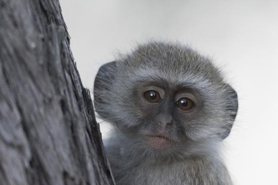 Vervet monkey (Chlorocebus pygerythrus), Moremi Game Reserve, Okavango Delta, Botswana, Africa-Sergio Pitamitz-Photographic Print
