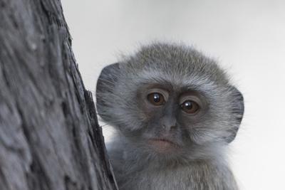 https://imgc.artprintimages.com/img/print/vervet-monkey-chlorocebus-pygerythrus-moremi-game-reserve-okavango-delta-botswana-africa_u-l-q1btmg10.jpg?p=0