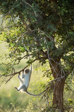 vervet monkey climbing in forest, kruger national park, south africavervet monkey climbing in forest, kruger national park, south africaby paul souders
