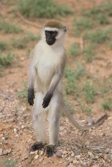 Vervet Monkey-DLILLC-Photographic Print
