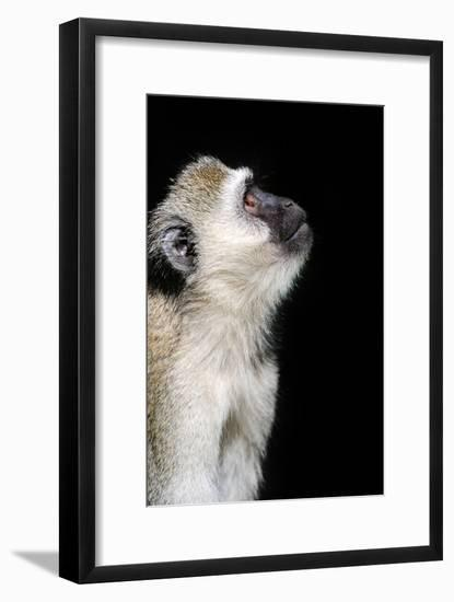 Vervet Monkey-byrdyak-Framed Photographic Print