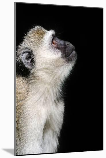 Vervet Monkey-byrdyak-Mounted Photographic Print