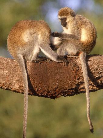 https://imgc.artprintimages.com/img/print/vervet-monkeys-tanzania_u-l-p4fdo00.jpg?p=0