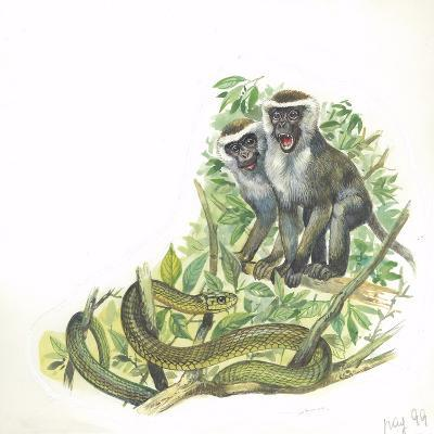 Vervet or Green Monkeys Chlorocebus Aethiops Giving Alarm Calls to Signal the Presence of Snake--Giclee Print