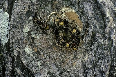 Vespa Crabro (European Hornet) - Nest Entrance in a Tree Trunk-Paul Starosta-Photographic Print