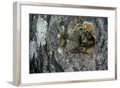 Vespa Crabro (European Hornet) - Nest Entrance in a Tree Trunk-Paul Starosta-Framed Photographic Print