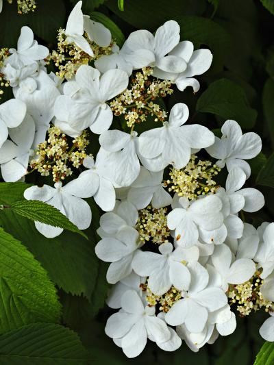 Vibernum Flowers or Corymbs (Viburnum Plicatum) Consist of Small Fertile Flowers-Robert & Jean Pollock-Photographic Print
