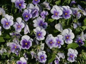 Vibrant Purple Flowers in Dense Garden