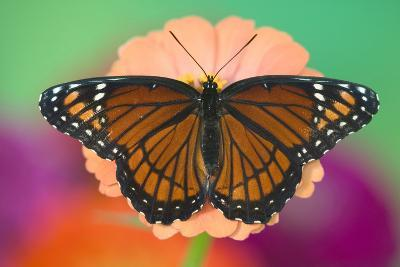 Viceroy Butterfly a Mimic of the Monarch Butterfly-Darrell Gulin-Photographic Print