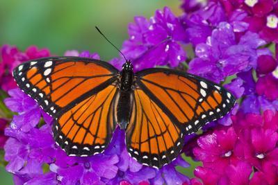 https://imgc.artprintimages.com/img/print/viceroy-butterfly-that-mimics-the-monarch-butterfly_u-l-q12t0tq0.jpg?p=0