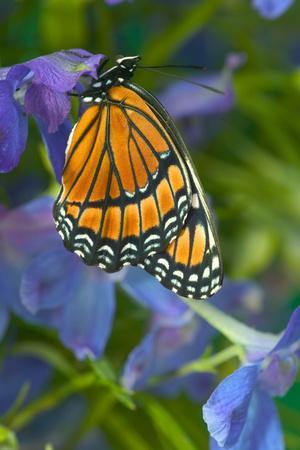 https://imgc.artprintimages.com/img/print/viceroy-butterfly-that-mimics-the-monarch-butterfly_u-l-q12t0uv0.jpg?p=0