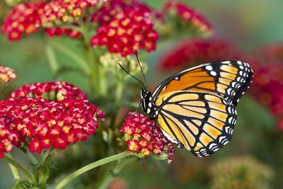 Viceroy Butterfly That Mimics the Monarch Butterfly-Darrell Gulin-Photographic Print