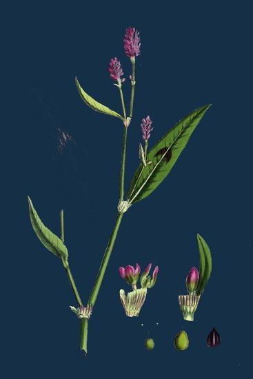 Vicia Bithynica; Bithynian Vetch--Giclee Print