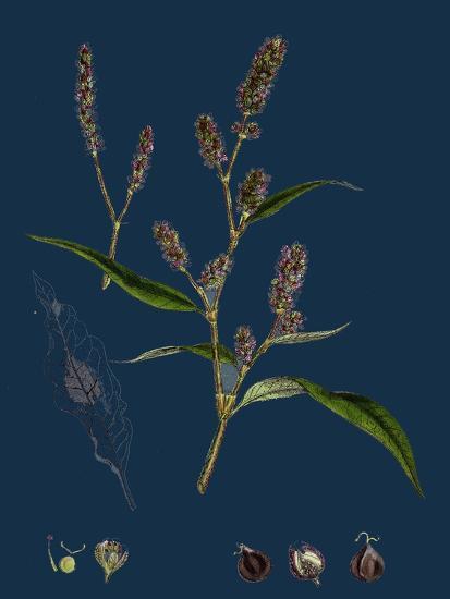 Vicia Cracca; Tufted Vetch--Giclee Print