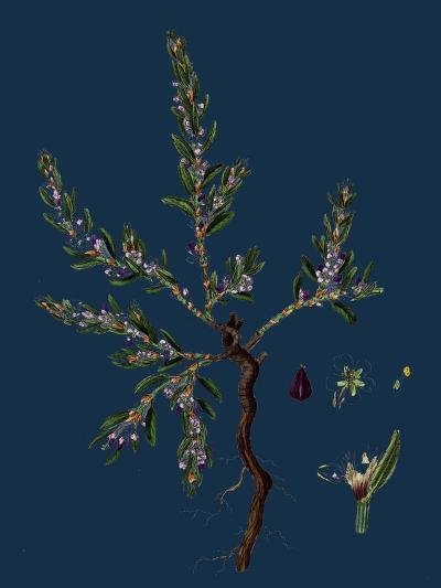 Vicia Lathyroides; Spring Vetch--Giclee Print