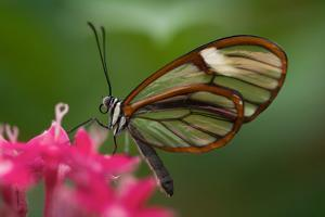 A Costa Rica Glass Wing Butterfly, Greta Oto by Vickie Lewis