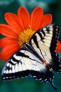 Close Up of a Swallowtail Butterfly on a Red Zinnia Flower by Vickie Lewis
