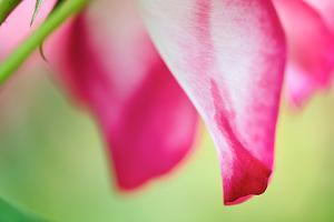 Close Up of the Petals and Stem of a Pink and White Rose by Vickie Lewis
