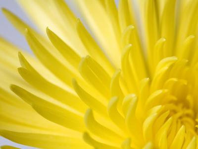 Close Up of the Petals of a Yellow Chrysanthemum Flower by Vickie Lewis