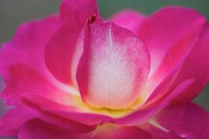 Close Up of the Pink and White Petals of a Rose Flower by Vickie Lewis