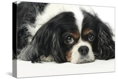 Close Up Portrait of a Pet Cavalier King Charles Spaniel