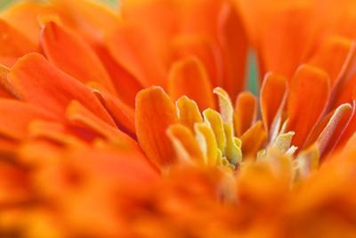 Extreme Close Up of An Orange Chrysanthemum Flower by Vickie Lewis