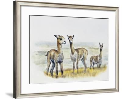 Vicogna Fawns (Vicugna Vicugna), Camelidae, Drawing--Framed Giclee Print